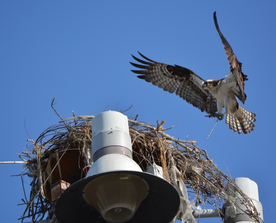 Female osprey bringing nesting material to nest on parking lot light pole near maritime ships at Alameda Point - May 2014.