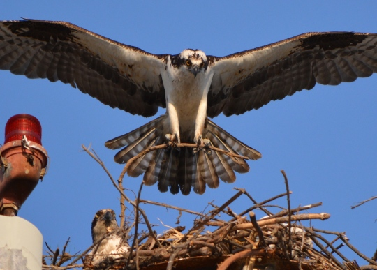 Male osprey bringing nesting material to light pole near maritime ships at Alameda Point with female looking on.