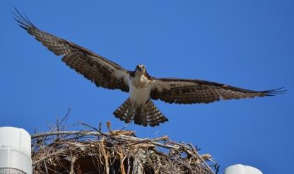 Female osprey leaving nest to gather nesting material.
