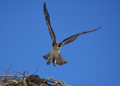 Female osprey leaving nest