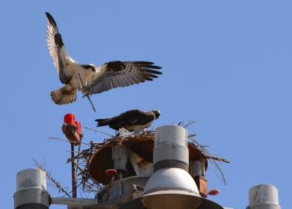 Osprey nest building 2014