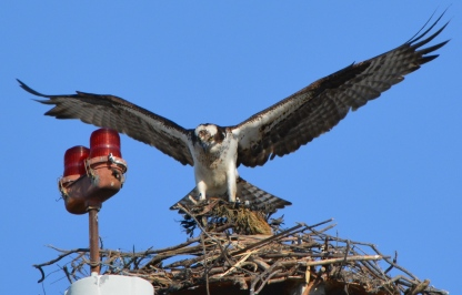 Osprey with nesting material Alameda Point 2014