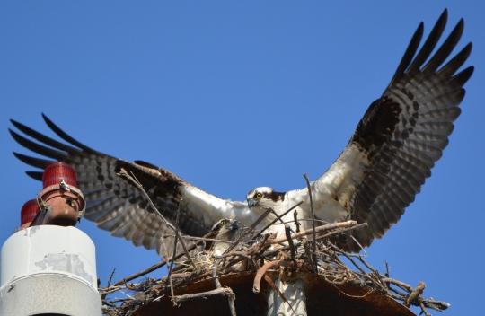 Osprey pair on their light pole nest April 18, 2014 as nest building continued.