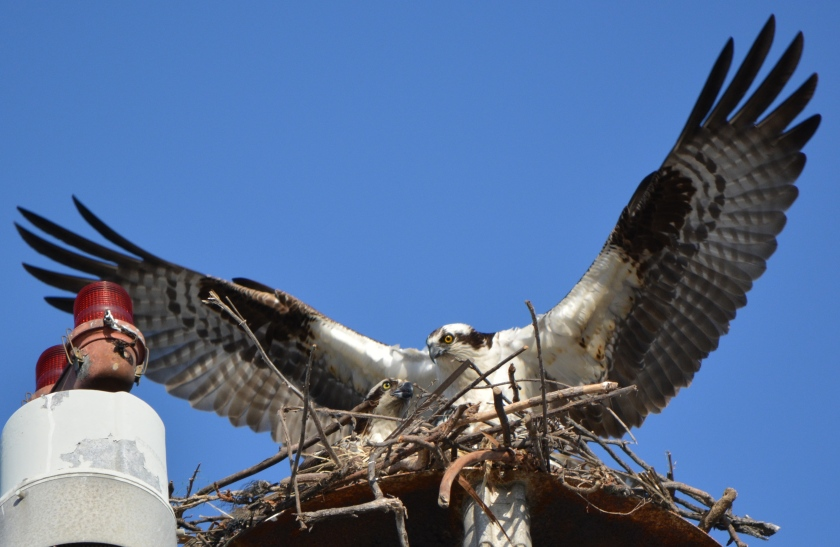 Osprey pair on their light pole nest April 18, 2014 as nest building continued.