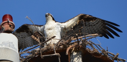 Male osprey mating with female 2014. Female's tail feathers visible on left.