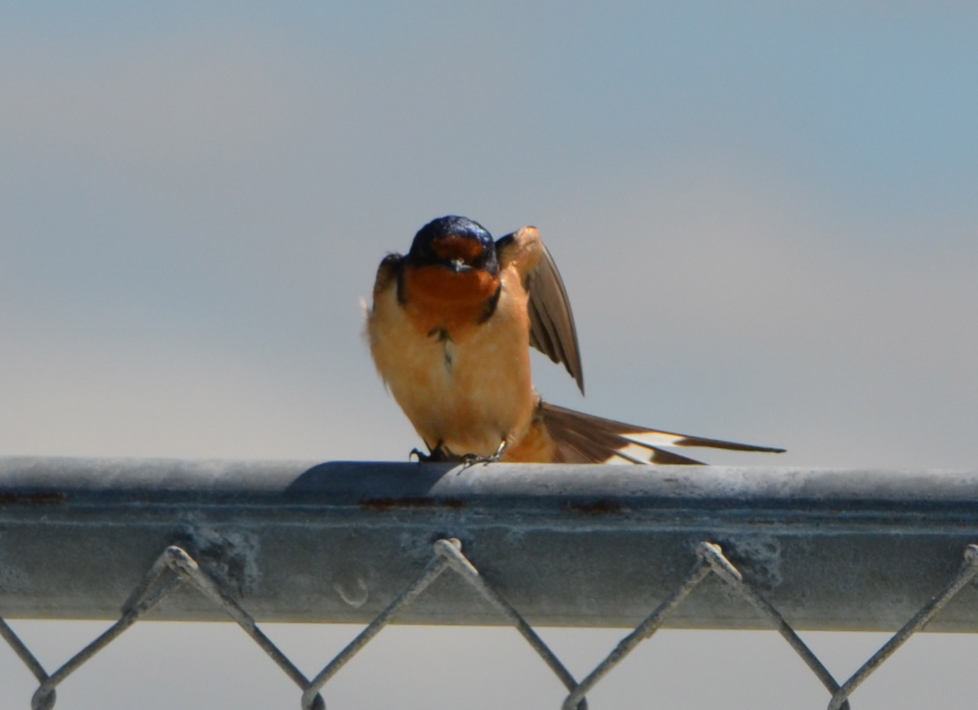 Barn Swallow on fence on west side of Seaplane Lagoon.  Common to the area, often seen flying low over the water looking for flying insects,  nesting almost exclusively on man-made structures, possibly Building 29.