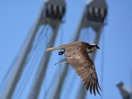 Osprey with striped bass, maritime ship in background at Alameda Point.