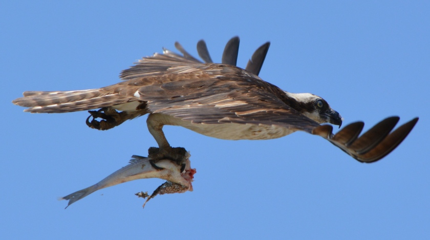 Osprey with striped bass in early June 2014 near maritime ships at Alameda Point.