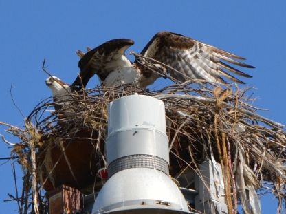 Female osprey arranging nesting material