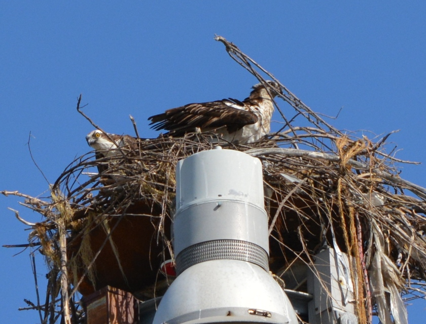 Female osprey arranging nesting material with male looking on.