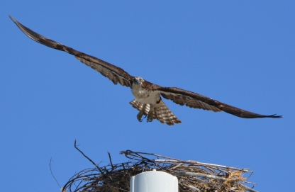 Female osprey leaving nest - 2