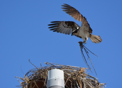 Female osprey bringing nest material