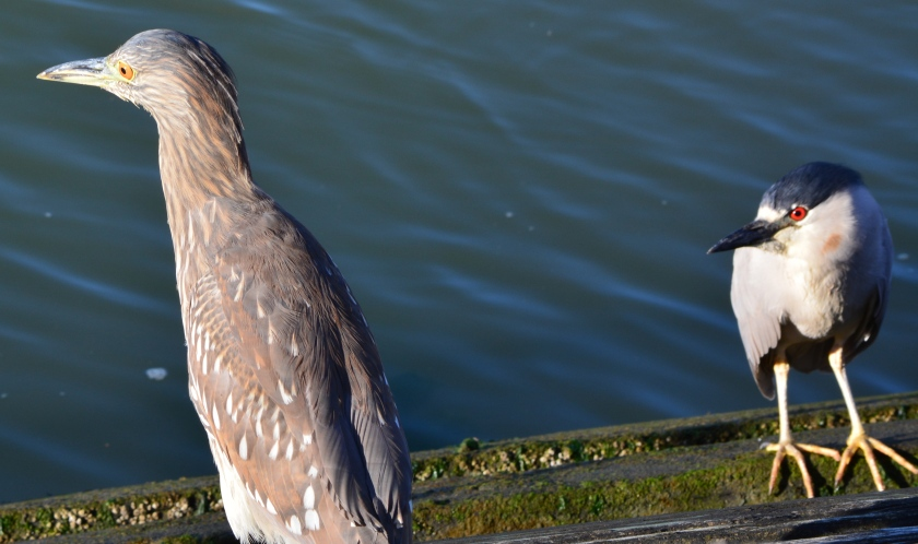 Black-crowned Night Heron juvenile and left and adult on right.  Perched on remnants of old Navy recreational dock in Alameda Point's Inner Harbor on south side.