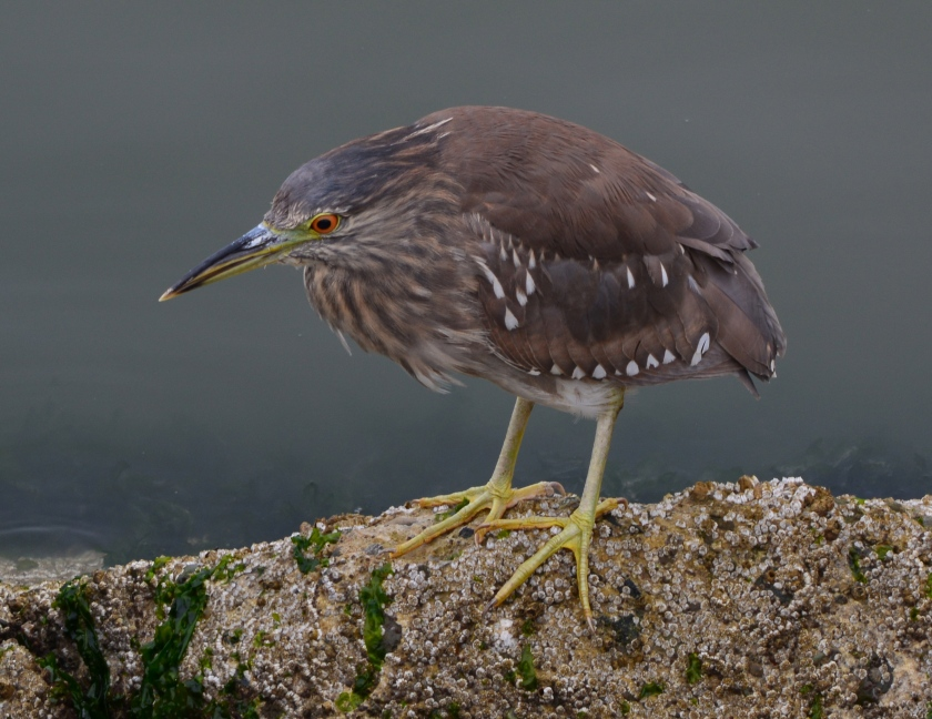 Black-crowned Night Heron juvenile June 2014