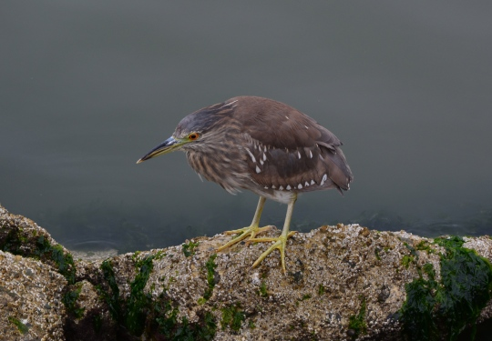 Black-crowned Night Heron juvenile foraging - Alameda Point