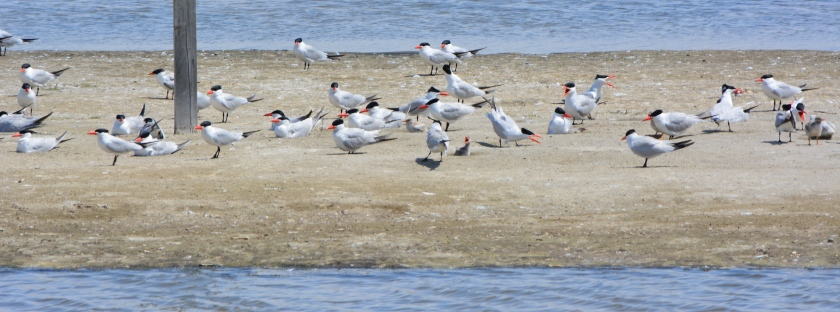 Caspian Terns and chicks at West Wetland, Alameda Point.