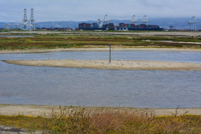 South Pond of West Wetland at Alameda Point.  Island in pond has become a nesting site for Caspian Terns.  Looking north toward Port of Oakland.