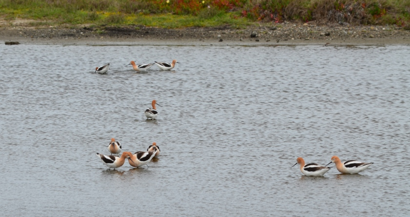 American Avocets on wetland area of Nature Reserve zone of federal property.