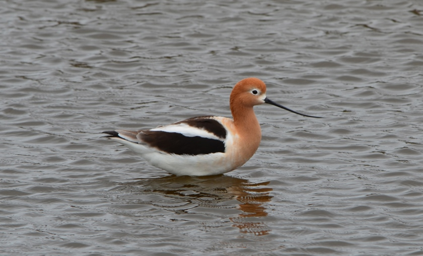American Avocet at Alameda Point