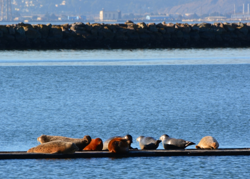 Harbor seals on dock remnant at Alameda Point, January 5, 2014.