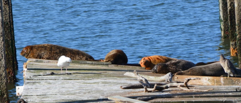 Harbor seals at Alameda Point 2014