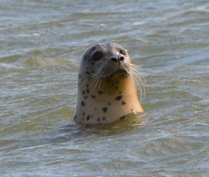 Harbor seal at Alameda Point