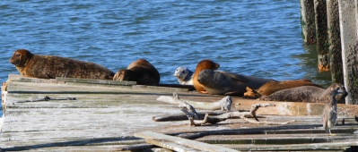 Adult harbor seals with silver pup - May 29, 2014