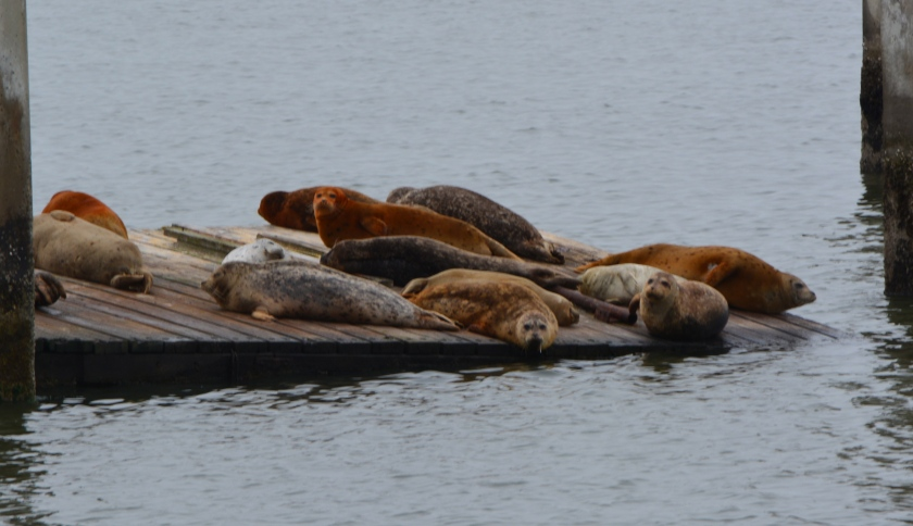 14 harbor seals resting on June 4, 2014, at Alameda Point dock where ferry facility is planned.