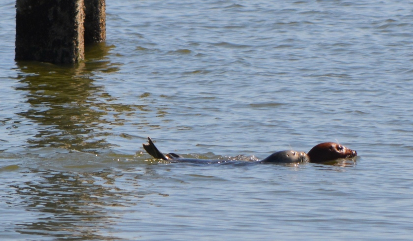 Adult harbor seal with pup at proposed ferry facility site, Alameda Point, May 13, 2014.