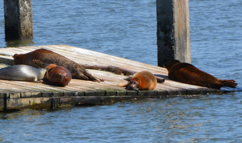 Nursing harbor seal pup - May 2014 - Alameda Point