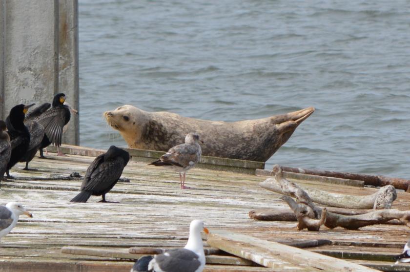Harbor seal at Alameda Point