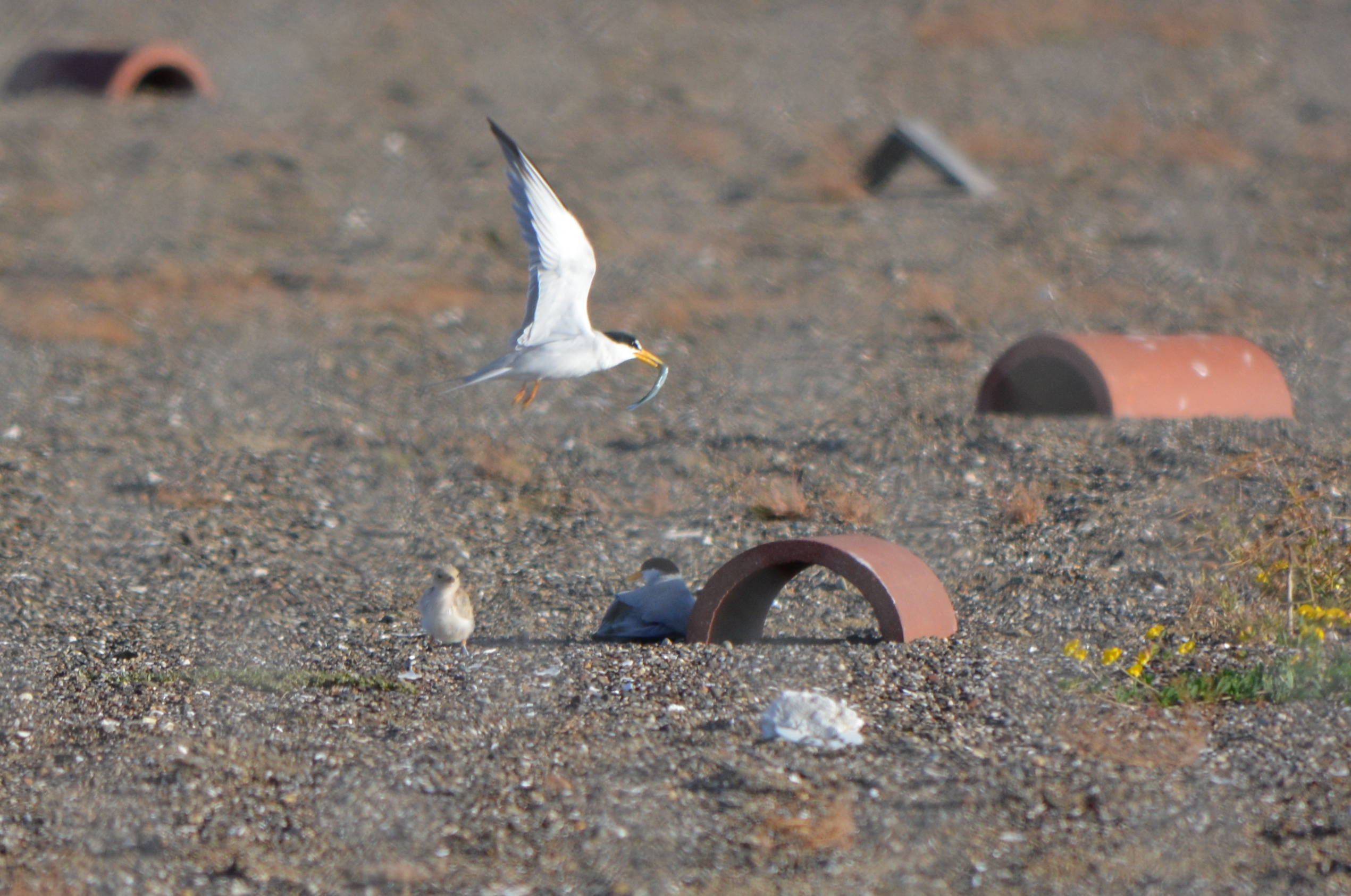 Least Tern chick, adult with fish, and resting adult, next to tile used for shelter, June 2014.