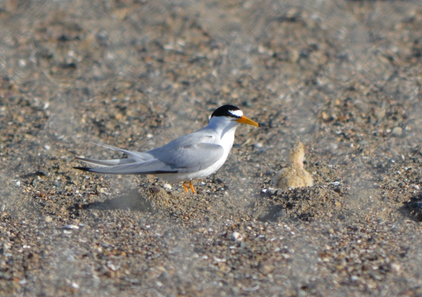 Adult Least Tern looking at chick that had just been given a small fish to gulp down.  June 2014.