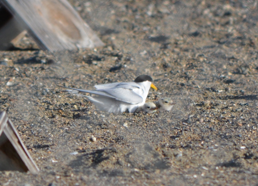 Adult tern with two chicks, June 2014.  Wooden shelters nearby.