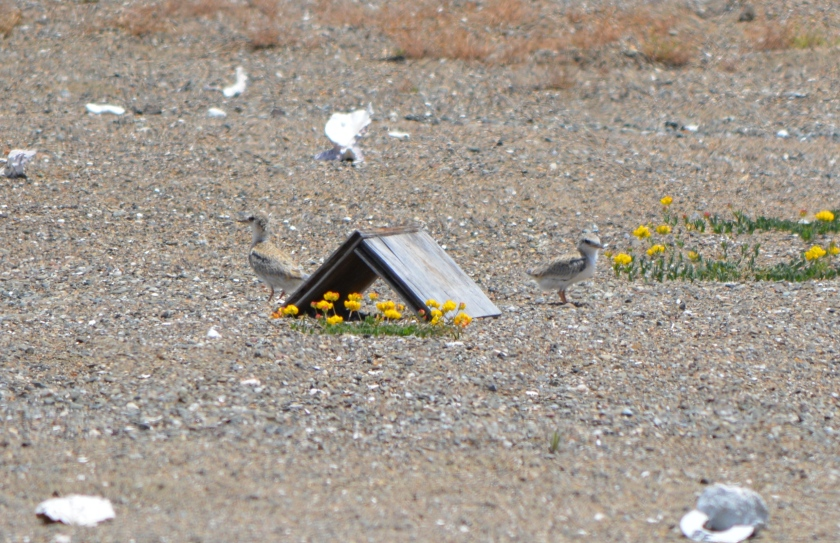 Two Least Tern chicks near wooden A-frame used as a shelter.  June 2014.