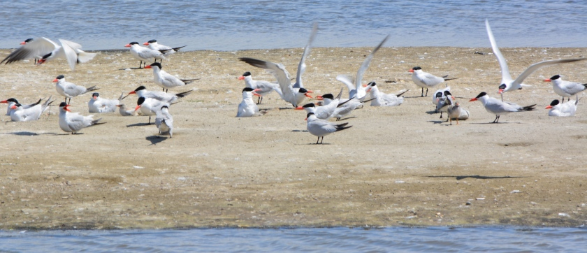 Caspian Terns nesting in West Wetland at Alameda Point in 2014.