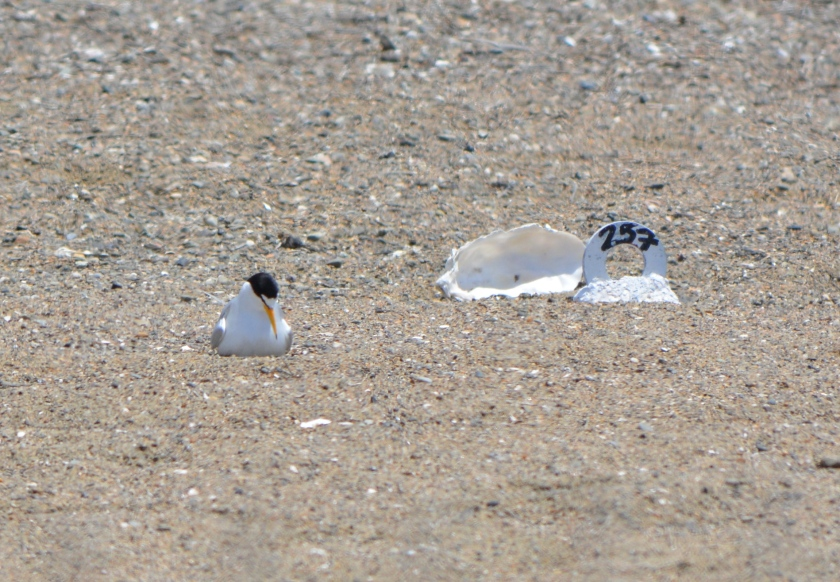 Least Tern on egg(s), with nest marker and oyster shell nearby.  Nest markers are placed near every nest in order to record accurate nesting success data.  Oyster shells are distributed throughout the nesting area to make spotting by avian predators more difficult.