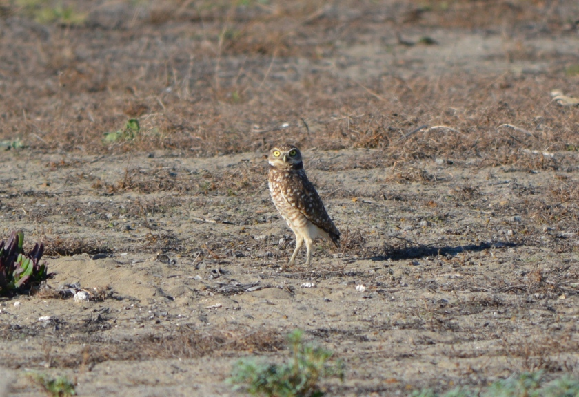 Burrowing Owl, November 2014.  Burrowing Owls use existing burrows, mainly those made by squirrels.
