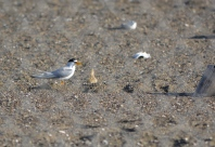 Least Tern adult with chick in June 2014.