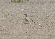 Least Tern chick in June 2014, blending in with the sand.