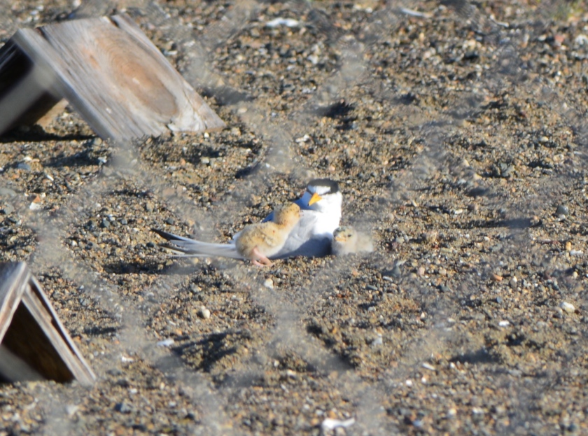 Least Tern adult with two chicks - June 2014.  Viewed through chainlink fence.