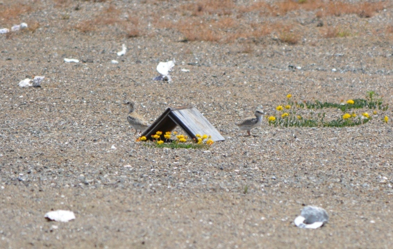 Least Tern chicks near A-frame shelter in June 2014.