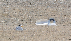 Least Tern adult sitting on eggs in June of 2014. Nest marker and oyster shell are to the right.