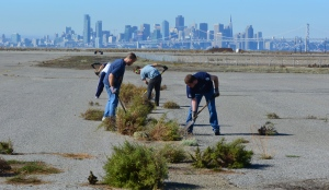 Members of Tau Beta Pi removing weeds near the tern nesting area in November.