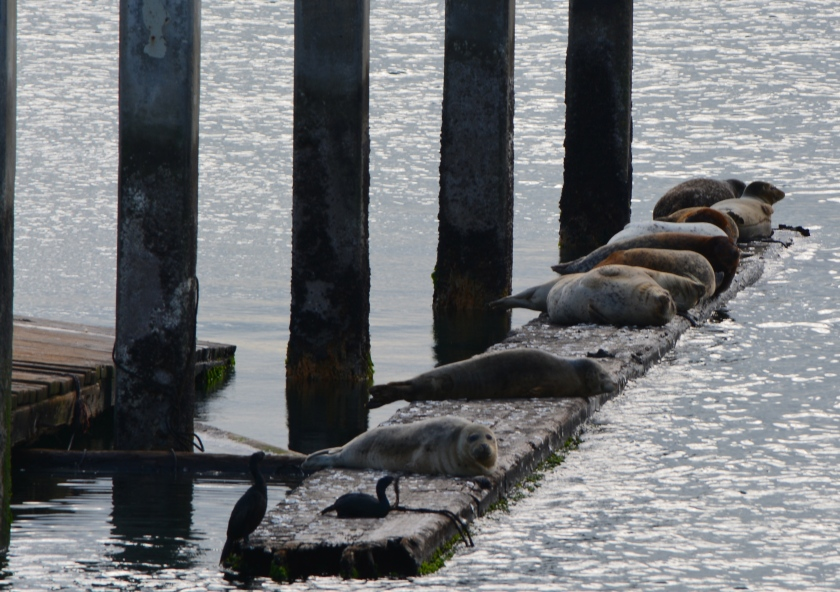 The one remaining beam moored to old dock - similar to log booms used by harbor seals elsewhere to haul out.