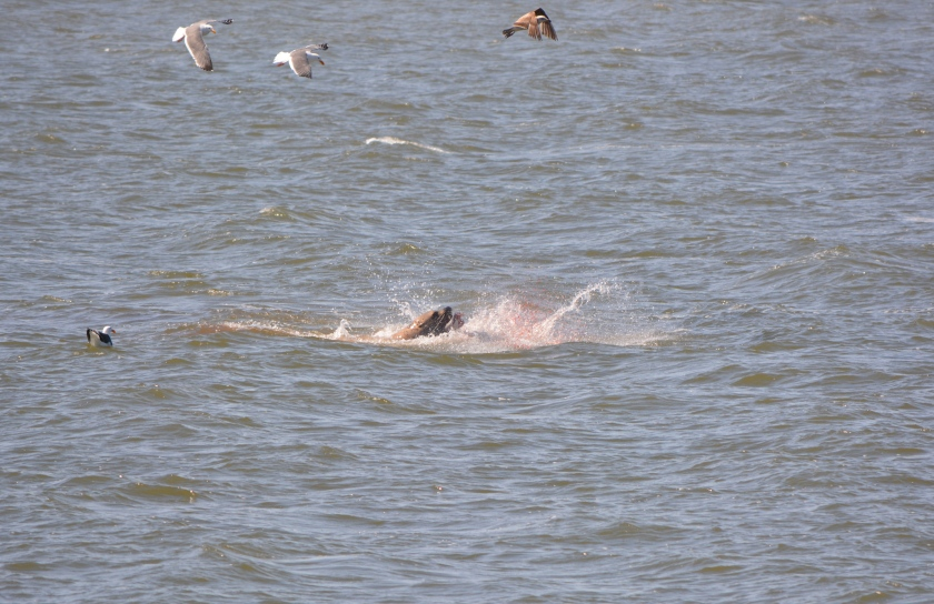 Harbor seal feeding on bat ray in Alameda Point Channel where new haul out could potentially be located.