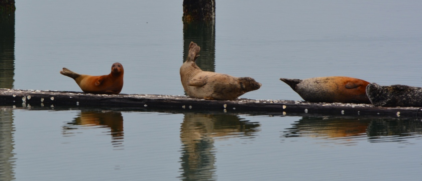 Harbor seals on Alameda Point haul out