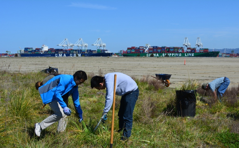UC Berkeley students trimming tall pampas grass near the nesting site.