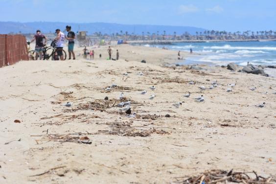Least terns on the beach.