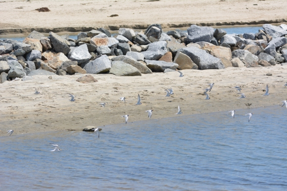 Side channel in Santa Ana River where the terns bath and hang ot.
